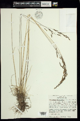 Image of Deschampsia liebmanniana