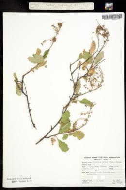 Image of Holodiscus dumosa