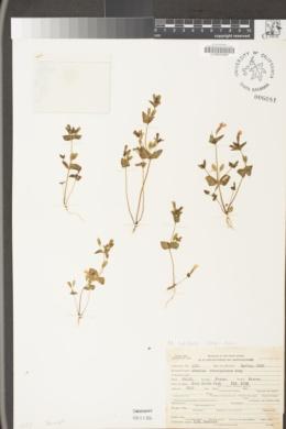 Erythranthe latidens image