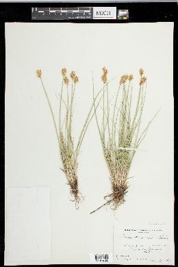 Carex duriuscula image