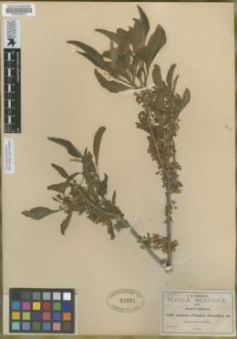 Image of Acnistus arborescens