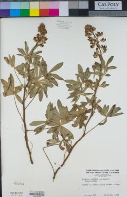 Lupinus latifolius image