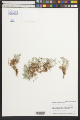 Image of Astragalus gilviflorus