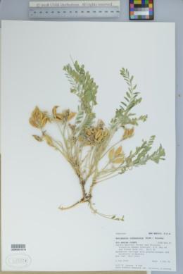 Astragalus iodopetalus image