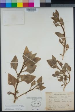 Tetragonia tetragonoides image
