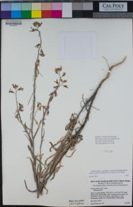Boechera pulchra image