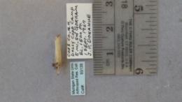 Agriphila vulgivagellus image