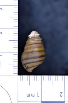 Gyrotoma pagoda image