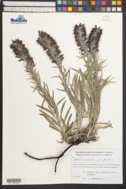 Image of Echium maculatum