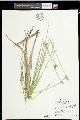 Carex molesta image