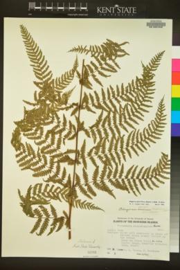 Image of Deparia prolifera