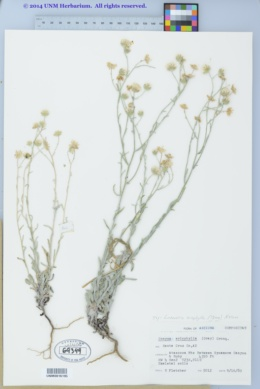 Laennecia eriophylla image