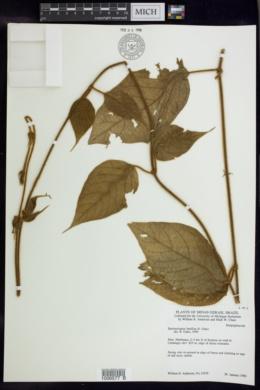 Banisteriopsis basifixa image