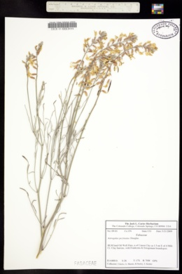 Image of Astragalus pectinatus