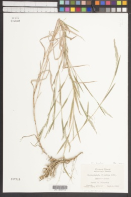 Muhlenbergia bushii image