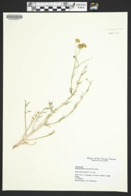 Hymenopappus filifolius var. pauciflorus image