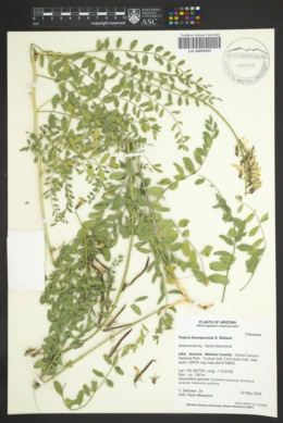 Peteria thompsoniae image