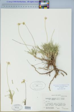 Tetraneuris scaposa image