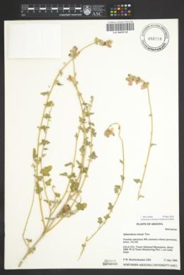 Sphaeralcea emoryi image