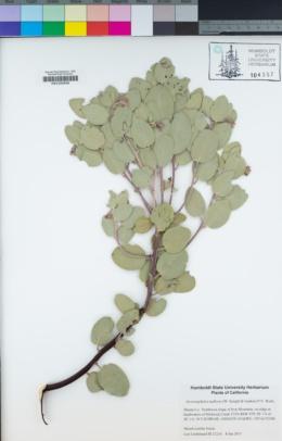 Image of Arctostaphylos malloryi