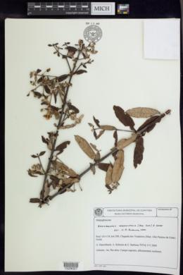 Image of Banisteriopsis vernoniifolia