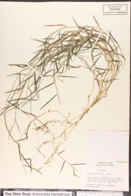 Agrostis matrella image