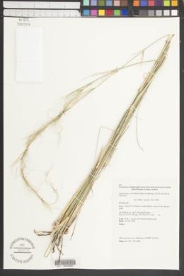 Image of Austrostipa verticillata
