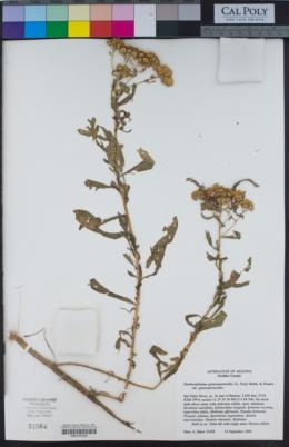 Xanthocephalum gymnospermoides image