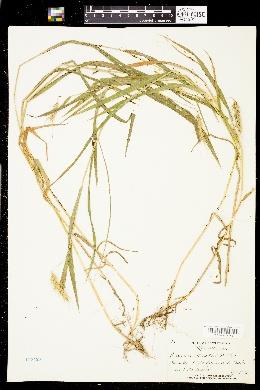 Elymus virginicus var. jejunus image