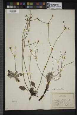 Eriogonum batemani image