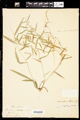 Image of Panicum patulum