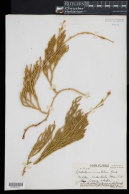 Lycopodium venustulum image