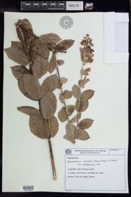 Banisteriopsis malifolia image