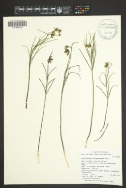 Fritillaria atropurpurea image