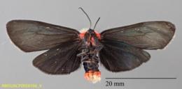 Gnamptonychia ventralis image