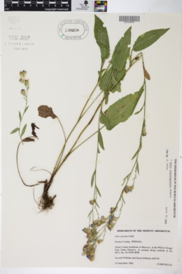 Aster oolentangiensis image