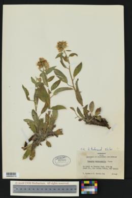 Phacelia heterophylla image