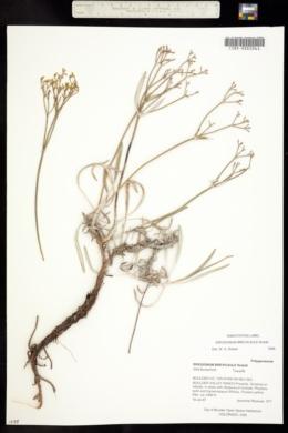 Image of Eriogonum brevicaule