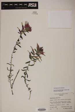 Castilleja tenuiflora image