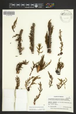 Arceuthobium oaxacanum image