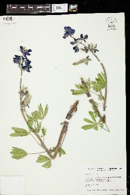 Image of Lupinus arcticus