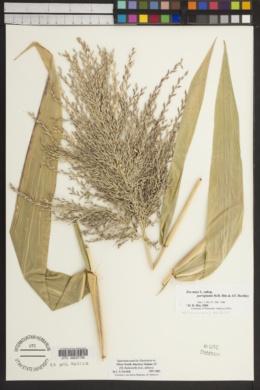 Zea mays subsp. parviglumis image