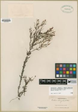 Image of Pectis diffusa