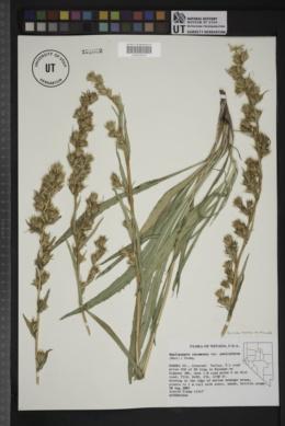 Pyrrocoma racemosa image