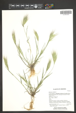 Bromus rubens image