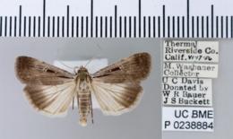 Tathorhynchus exsiccata image