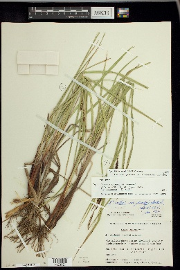Image of Carex saxenii