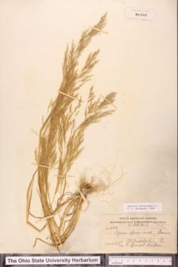 Image of Agrostis spica-venti