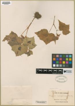 Begonia palmeri image