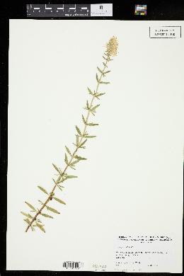 Hyssopus officinalis image